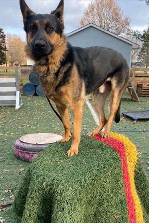 Kaos: A 1 Year Old German Shepherd