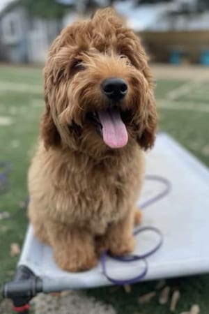 Oliver: A young miniature Goldendoodle