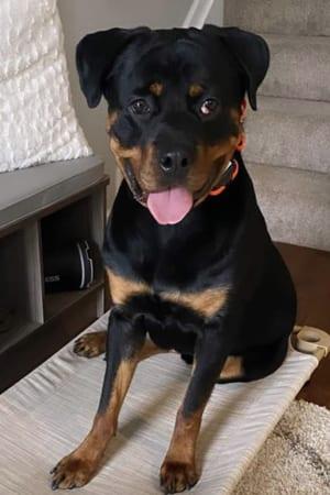 Robyn: A 1 1/2 year old Rottweiler